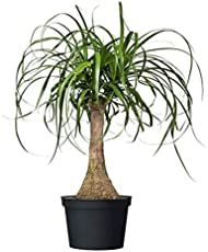 """American Plant Exchange Ponytail Palm Single Trunk Live Plant, 6\\"""" Pot, Indoor/Outdoor Air Purifier"""