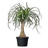 American Plant Exchange Ponytail...