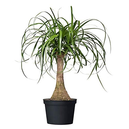 American Plant Exchange Ponytail Palm Single Trunk Live Plant, 6' Pot, Indoor/Outdoor Air Purifier