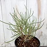 多肉植物 ca オトンナ プロテクタ 実生苗 多肉植物 コーデックス 9cmポット
