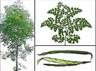 Germination Seeds:Malunggay Vegetable Seeds Moringa Oleifera 25 Seeds