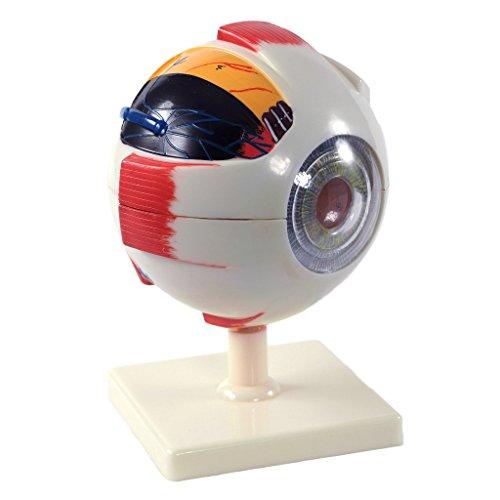 Cranstein E-418 Augen Modell, 6fach vergrößert