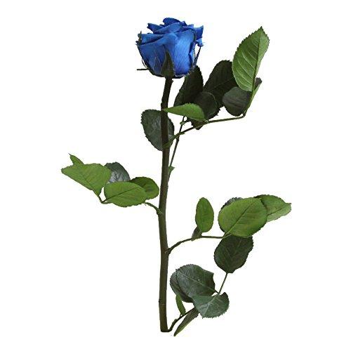 Verdissimo Rosa Preservada en Estuche de Regalo Tamaño Cabeza Mini, Altura 30 cm, Azul Fuerte