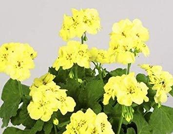 VISTARIC Géranium, premier Yellow. one des plus durs Couleurs Pour Get In Geranium. flower Seeds Pour la maison Garden. bonsai Plantes -20 Graines