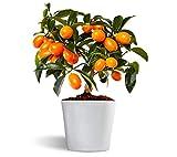 Nagami kumquat - Naranjo enano - Fruta comestible - Maceta cerámica de 12cm