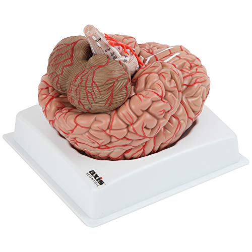 Axis Scientific Deluxe 8-Part Human Brain Model with Arteries | Shows Major Lobes and 41 Anatomical Features of the Human Brain | Includes Base and Detailed Full Color Product Manual | 3 Year Warranty