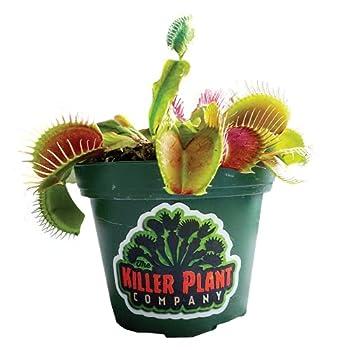 venus fly plant