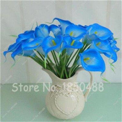 Multi-couleur Calla Fleur vrai Calla Lily Graines d'amour élégant Noble Symbolise Graines de fleurs de plantes d'intérieur Bonsai Balcon Fleur-50 6