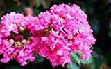 100+ SEEDS Chinese Crape Myrtle Lagerstroemia indica Tree Seeds bonsai flower Seeds
