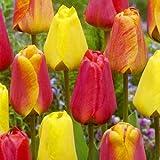 BULBi Bulbes de Tulipes DARWIN Mélange/Mix | 100x Bulbes | Les Tulipes Darwin sont robustes avec des longues tiges solides et fleurs classiques avec une longue floraison.