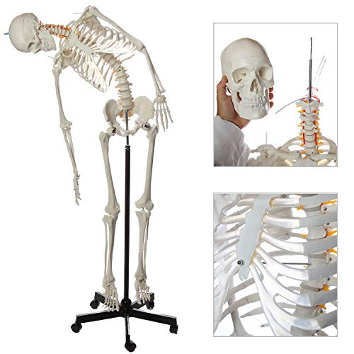 Axis Scientific Flexible Life-Size Skeleton Anatomical Model – Bundle Containing 5' 6' Anatomically Correct Skeleton, 206 Bones, Interactive Medical Replica – Includes Adjustable Rolling Stand, Dust Cover and 3 Year Warranty
