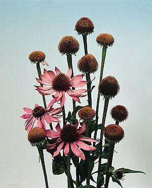 Raleigh Mall 55% OFF Gregpol - Echinacea ConefIower purpurea ct 500