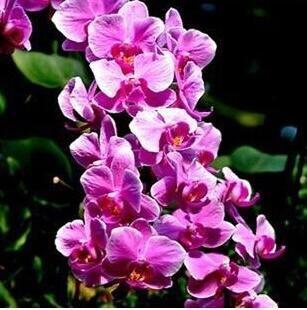 10pcs/lot papillon graines d'orchidées, fleurs d'intérieur bonsaï quatre saisons, Phalaenopsis Orchidées jardin à la maison 17