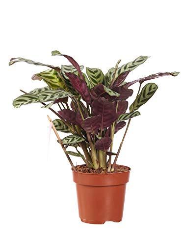 Ctenanthe |Plante décorative | plante d'intérieur| hauteur 40 cm | Pot 12 cm | Entretien facile