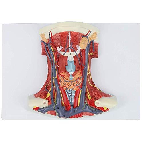 Modelo anatómico, Modelo de Cuello y Garganta Humanos | Ver