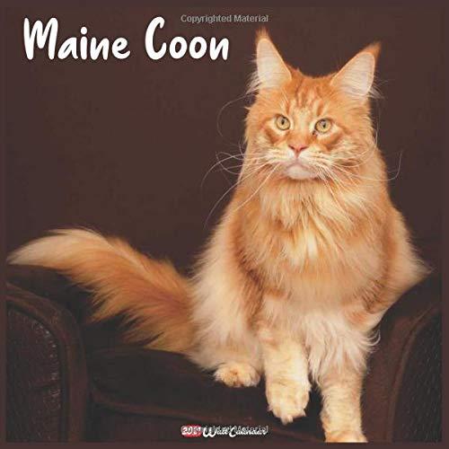 41KANgschXL - Portraits de Chatons Maine Coon... ces Adorables Géants