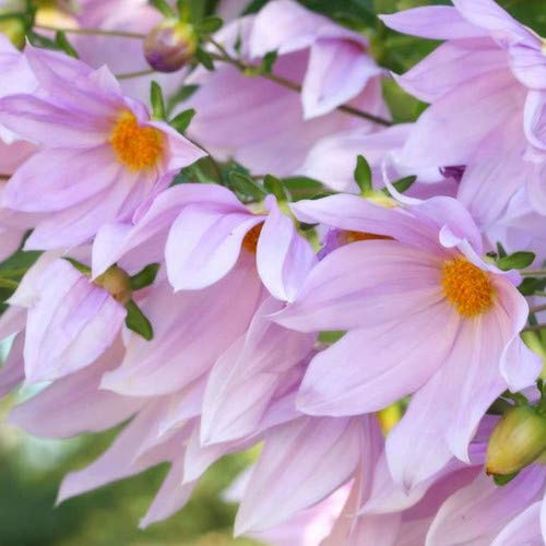 Plant World Seeds - Dahlia Imperialis Seeds
