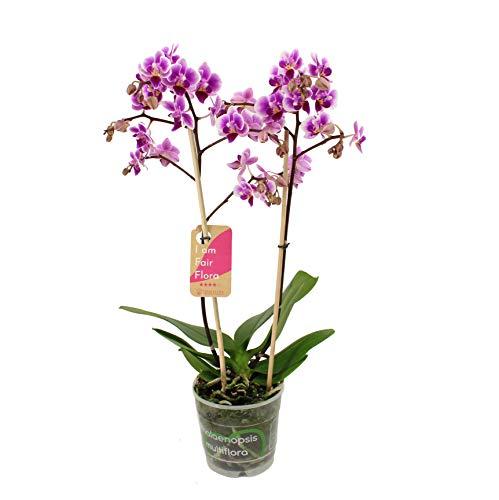 Orchidee von FAIR FLORA – Schmetterlingsorchidee – Höhe: 50 cm, 2 Triebe – Phalaenopsis Pixie