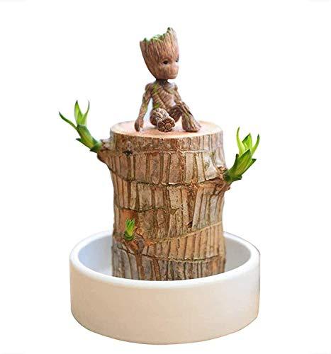 Brasilien Lucky Badan Holz Hydroponic Topfpflanze, Mini Brasilianische Lucky Holz Stumpf Pflanze Indoor Wasserkultur Desktop, Reinigen Sie die Luft Grünpflanzen mit Waschbecken (7-8cm)