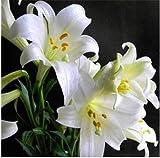 Bloom Green Co. 100pcs lys, fleur de lys, (pas) bulbes de lis, fleur de lys, lÃgère odeur, plante en pot bonsaï pour plantes de la maison: 6