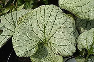 Brunnera macrophylla 'Silver Heart' 15cm Pot Size