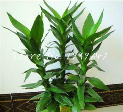 HONIC Il Nuovo 2019! 50 Piante pc/Pacchetto Fortunato Cinese di bambù, Gigante di bambù Moso, varietà Completa di impianto Dracaena Il 95{caa8e8642ff0d73edd9283e8d1570614f97aedc60d17e90c8f2f63c1407511ce} del germogliamento Tasso: 4