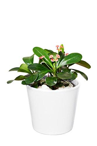EVRGREEN | Zimmerpflanze Christusdorn in Hydrokultur mit weißem Topf als Set | Euphorbia x lomi