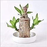 Suerte de madera en macetas de escritorio Cultura de agua interior Plantas verdes Groot Tree Brasil Adornos, plantas hidropónicas
