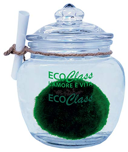 Marimo 4-6 cm in Vaso di Vetro da 450 ml Pianta dell'amore