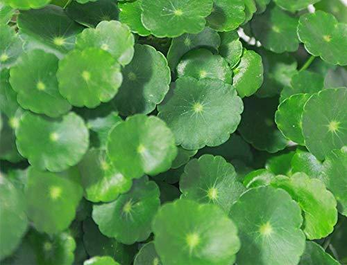 Semillas de Pennywort 100+ (Hydrocotyle Chinensis) Plantas acuáticas orgánicas Monedas fáciles de cultivar Dinero Semillas de hierba para piscinas de estanques de jardín Plantación de bonsáis en casa
