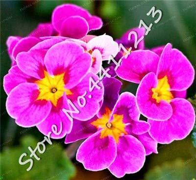 SANHOC 200 Stück Echtnachtkerze Europa Primel malacoides Farbe Bonsai Blume wachsen in Töpfen Zimmerpflanze Einfach für Hausgarten mischen: 25