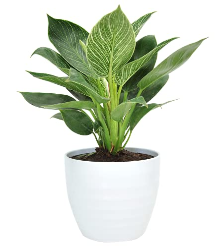 Costa Farms Live Indoor Trending Tropicals Philodendron Birkin Plant, 14-Inch Tall, White Décor Pot