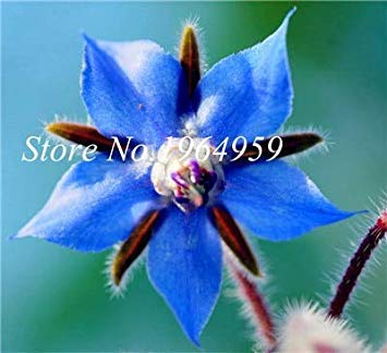 100 PC/Beutel Kaufen Borretsch Blumen Semente Pflanze Borago Officinalis Flower Garden Mix Colors So Beautiful & Bright: 7