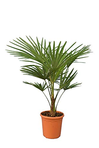 Winterharte Hanfpalme - Trachycarpus fortunei - Gesamthöhe 90-120 cm - Stamm 20 cm - Topf Ø 25 cm
