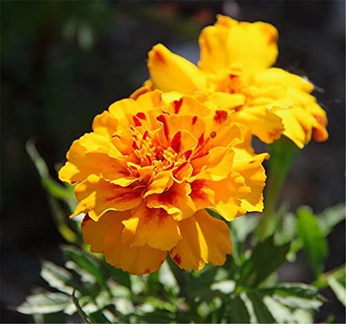 マリーゴールドの種 女神の花 秘密の花園 エレガントな香り 庭を美しくする 魅力的 フラワーアレンジメント-200 個