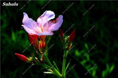 100 Pcs rares Nerium Graines Oleander Plantation Saisons de fleurs en pot Plantes culture facile Chine Graines Balcon Jardin Décoration 12