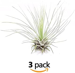 The Drunken Gnome AIR PLANTS – FUCSHII – 3 PACK - air purifying flowering tillandsia for terrarium, fairy garden starter kit, home office, indoor outdoor, corporate gift (3 PACK)