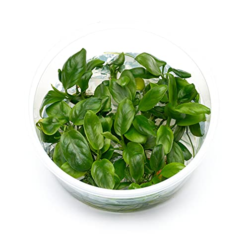 Anubias barteri VAR. Nana - Zwergspeerblatt in vitro 8,5cm Bechergröße - in vitro Wasserpflanzen für Aquarien
