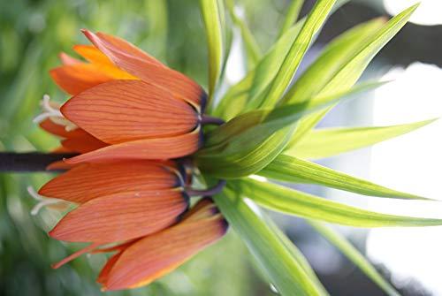 Fritillaria Imperialis Orangerote Kaiserkronen Knollen 1 Jährig 20 Stk.