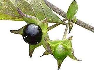 VISA STORE 1000 semillas Atropa belladona -DLY ca