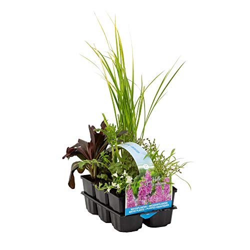 6x Teichpflanzen winterhart | Wasserpflanzen Teich | Seerosen, Uferpflanzen, Sauerstoffpflanzen Teich | Höhe 5-50 cm