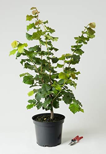 Haselnuss-Strauch Hallesche Riesennuss - Corylus avellana Hallesche Riesennuss 60-100 cm hoch - Garten von Ehren