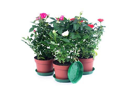 ✔️ Rosen 3 Stück mit Untersetzer. A1 Qualität ✔️ MPS kontrolliert ✔️ Unsere Pflanzen sind bereits für Sie vorgedüngt ✔️