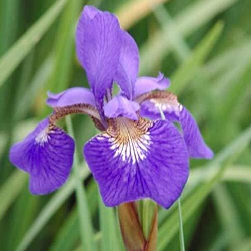 6 x Iris Sibiricia 'Blue King' - Iris de Siberie 'Blue King' - Godet 9x9cm