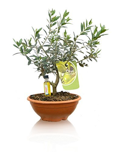 2 OLIVOS PRE-BONSAI NATURALES - Regalo 2 botellitas de aceite de oliva