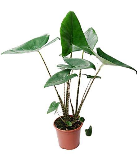 TUS PLANTAS A CASA | ALOCASIA ZEBRINA | OREJA DE ELEFANTE | PLANTA NATURAL
