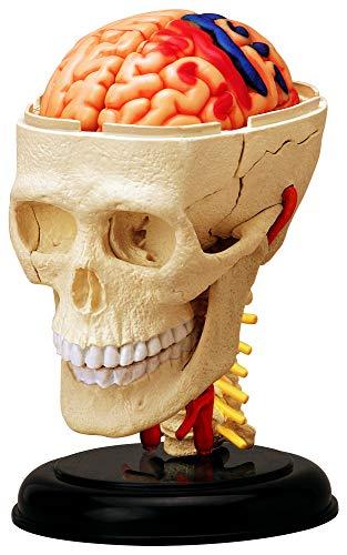 Skynet three-dimensional puzzle 4D VISION Human Anatomy No.04 head anatomical model (japan import)