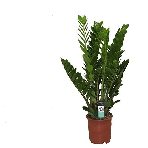 Zamioculcas 80 cm Zamiifolia Zanzibar Glücksfeder Zimmerpflanze