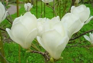 Seeds Magnolia Denudata Fragrant Flowering Yulan Jade Lily Tree Shrub A Beloved Garden Favorite in Buddhist Temples Get 10 Seeds Fresh Seeds Easy Grow AB007
