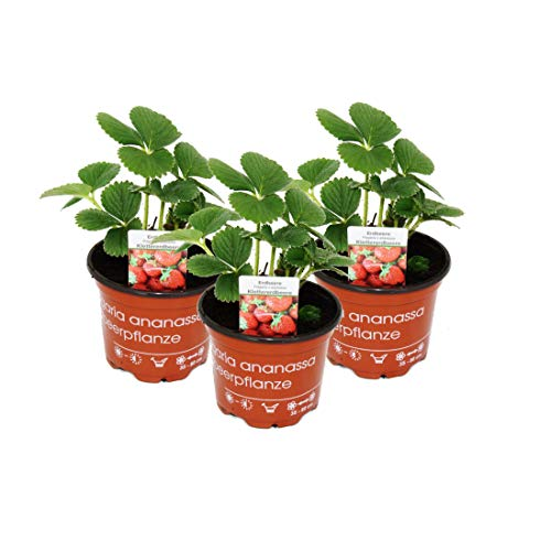 Exotenherz - Klettererdbeere Fragaria x ananassa 3 Pflanzen